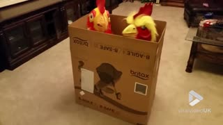 Giant pet roosters - Video