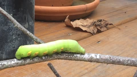 Giant Caterpillar