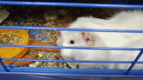 A white rodent gnaws a carrot.