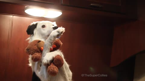 Border Collie's adorable bedtime routine