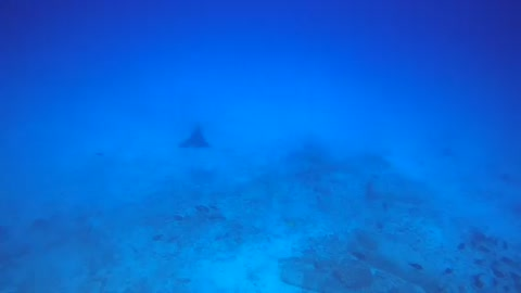 Swimming with a spotted eagle ray! Epic 🤙🤙