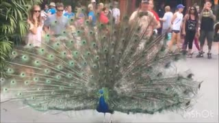 Peacock opening its feather