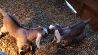 Newborn Goat Hop  - Video