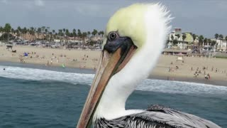 Suspicious pelican watches surfers