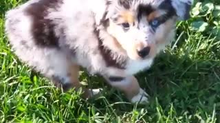 Australian shepherd puppy runs around in green grass - Video