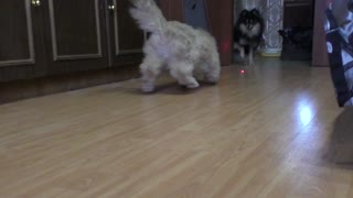 Big ginger persian cat chasing laser dot - Video