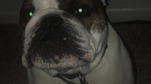 English Bulldog Cries to get into bed!