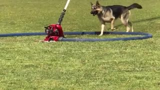 German shepard playing with red water stream - Video