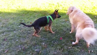 German Shepherd Puppy Trying To Steal a Stick From a Growling Golden Retriever  - Video