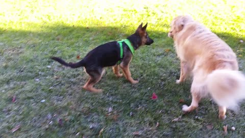 German Shepherd Puppy Trying To Steal a Stick From a Growling Golden Retriever