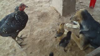 Dog and hen love  - Video