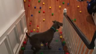 Sweet Dog Doesn't Know What To Do With All Those Balls - Video