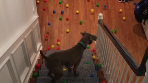 Sweet Dog Doesn't Know What To Do With All Those Balls
