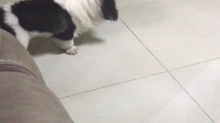 Fluffy white and black dog playing with black bug on tile floor