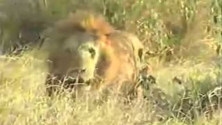 Lions attack hyenas - Video