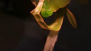 Amazing leaf insects mating footage