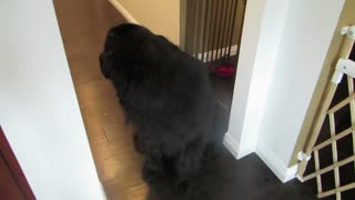 Little girl plays hide and seek with giant dog - Video