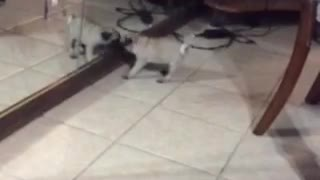 When a Pug puppy discovers a mirror - Video