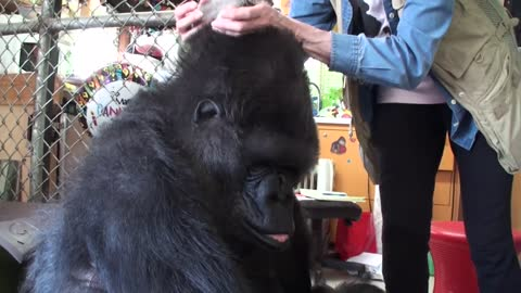 Gorilla's priceless reaction after getting box of kittens for birthday