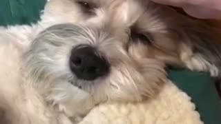 Dog Gets Head Scratchies - Video