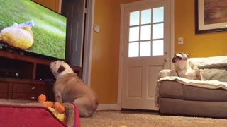 Hidden Camera Captures Two Bulldogs Interacting With TV Program - Video