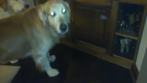 Golden Retriever frees cat trapped under kitchen sink