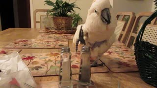 Talented Cockatoo Rocks The Salt Shaker Like A Drum Set