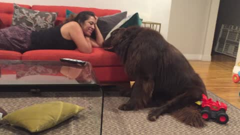 Giant Newfoundland demands attention from mom during the Olympic games