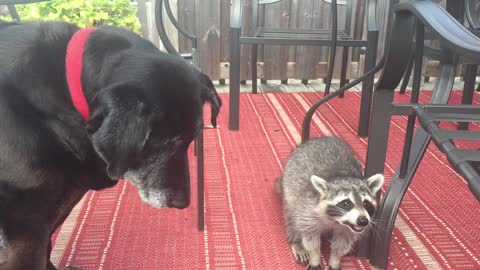 Raccoon and dog share food together