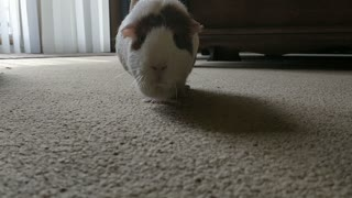 Guinea Pig Struts Towards Camera  - Video