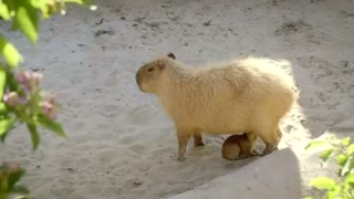 Capybara cubs join San Diego Zoo - Video