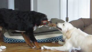 Bernese Mountain puppy plays tug of war with Golden Retriever   - Video