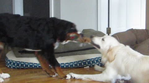 Bernese Mountain puppy plays tug of war with Golden Retriever