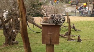 world of wildlife - Lemurs of Madagascar, Ring-Tailed Lemurs - Episode 2 - Video