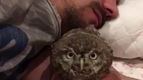 Sweet baby owls nap with their owner