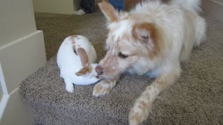 Loving dog kisses new baby bunny