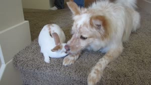 Loving dog kisses new baby bunny - Video