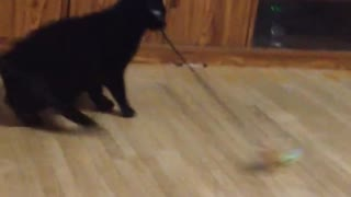 Hilarious cat gets dizzy from spinning in circles - Video