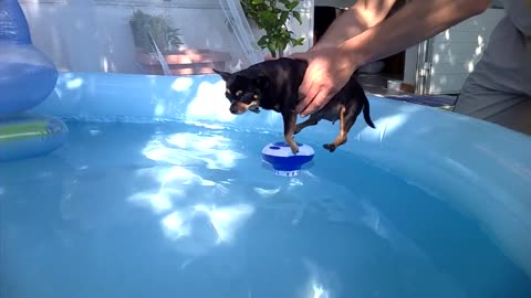 Chihuahua dog swims in the pool