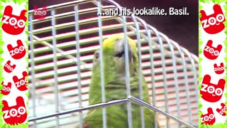 Talking Bird Contest - Video