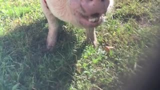 Happy pig slow mo
