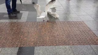 2 Seagulls Square Off! - Video