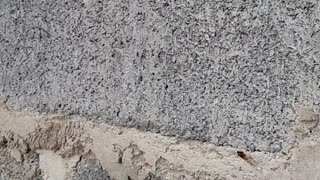 Lizard Stuck in Wall - Video
