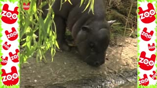 Cute Baby Hippo Takes First Swim - Video