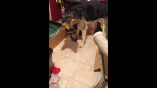 Dog Tries To Fight His Own Shadow - Video