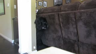 Giant dog moves sofa to escape - Video