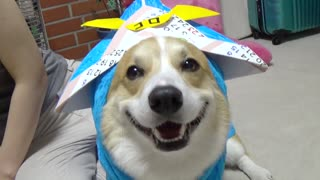 Corgi wearing a Samurai hat will make your day - Video