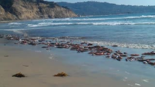 Mass amounts of live squid wash up on San Diego shore - Video