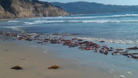 Mass amounts of live squid wash up on San Diego shore