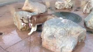 Adorable Husky Finds Out That Sitting On A Floor Fountain Is Not A Good Idea - Video